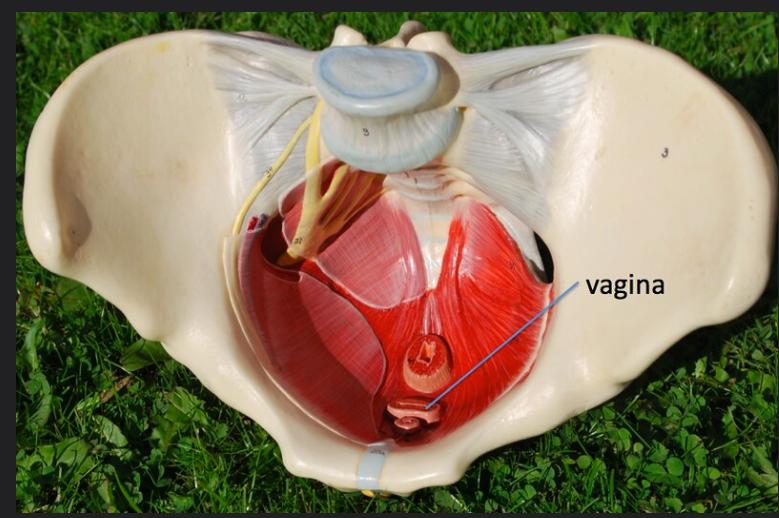 immagine anatomica bacino e pav pelvico